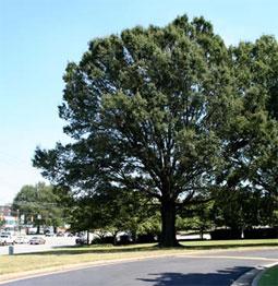 Large tree properly pruned.